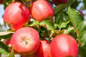 Dehydrated Apples & Apple Powder | Silva International - Silva International