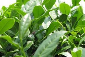 Green Tea Extract 50% EGCG