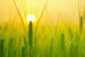 Why Barley
