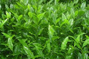 Matcha Sourcing - AOI Tea Company