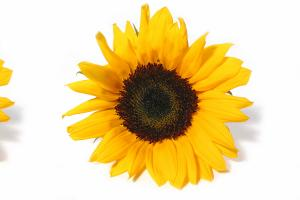 Sunflower Lecithin - Austrade Inc.
