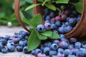Bilberry Extract | Bestherb, Inc.
