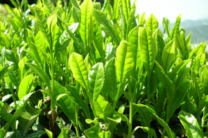 Green Tea Extract | Bestherb, Inc.