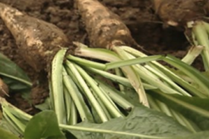 Oliggo-Fiber® Chicory Root Fiber