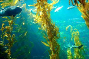 X6 Biolamina™ Sea Kelp Extract @ Draco Natural Products