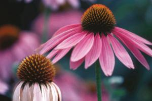 Echinacea Dry Extract – Euromed