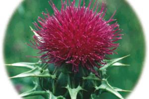 Milk Thistle Dry Extract – Euromed