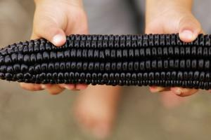 Suntava Purple Corn - HFI