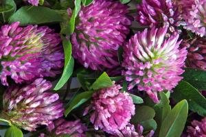 Red Clover - Botanical Ingredient - Linnea