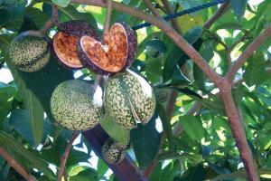 Vinpocetine - Botanical Ingredient - Linnea