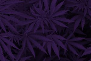 Cannabis and CBD | Nutrasource