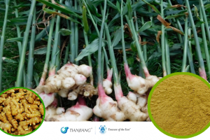 Fresh Ginger Pure Extract -Sheng Jiang: Treasure of the East Herbs, Distributor of Granule Chinese Herbs made by TianJiang pharmaceutical