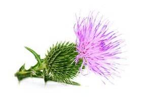 Milk Thistle extract - Nutraceutical - Herbal extracts factory andrographis extract rutin gingko biloba extract MAOYUAN Biochem