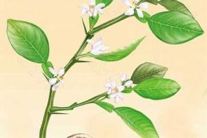 Hesperidin - Nutraceutical - Herbal extracts factory andrographis extract rutin gingko biloba extract MAOYUAN Biochem
