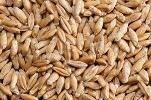 Spelt Wheat | Kosher, Organic, Non-GMO | Ardent Mills